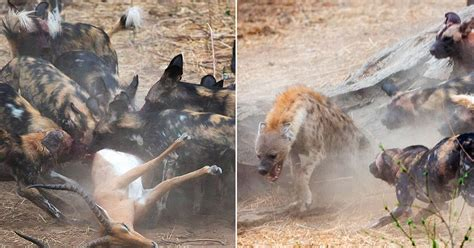 Wild dogs v hyenas: Which predator comes out on top as two