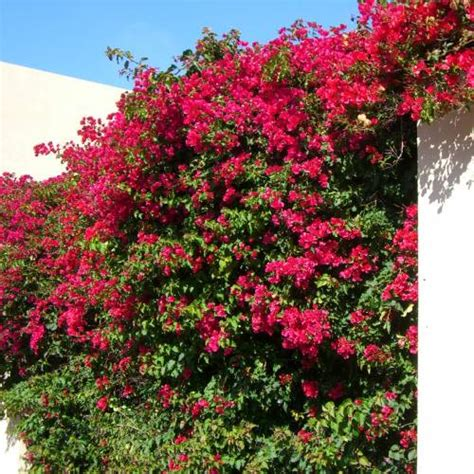 Bougainvillea, Red : buy Bougainvillea, Red