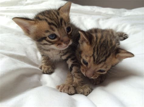 Chien chat be a donner - Annonces chatons