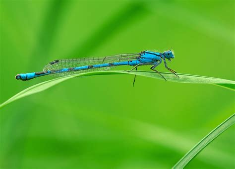 agrion — Wiktionnaire