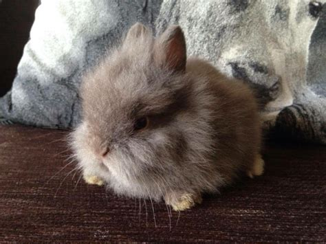 Baby rabbits for sale long haired | Darlington, County